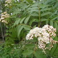 アロニアとナナカマドの花