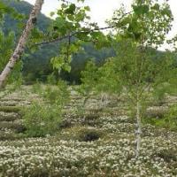 ◆白いジュウタンとなる阿寒国立公園の「硫黄山」周辺でエゾイソツツジ。白つつじ馬車も運行開始!