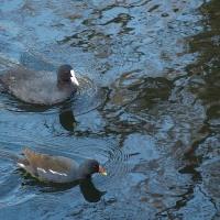 水鳥のカップルたち。。