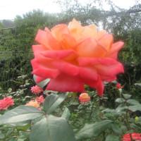 大船フラワーセンターの薔薇も見事