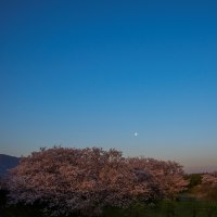 自宅から最も近い桜並木
