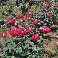 バラ三昧① 千葉市都市緑化植物園