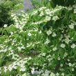 幸せの白いヤマボウシ