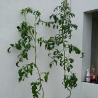 トマトの成長記録  Tomato's growth record 5/25