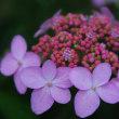 紫陽花が見頃の箱根へ。(その3)