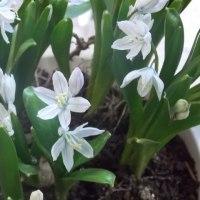 シラー開花
