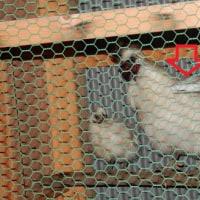 烏骨鶏のピヨは孵化して2ヵ月経ち大きくなりました)^o^(