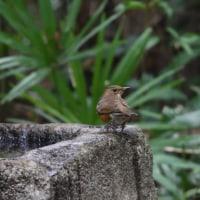 冬鳥アカハラが、やってきた。