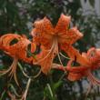 散歩道の花(29年7月23日)