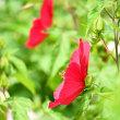 ハスの花も結構楽しめる❣️鉢植えだけどまだ蕾も沢山あるわ・・・・‼️