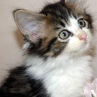 宮城県仙台市/名取市近郊のペットショップでメインクーン子猫をお探しなら塩竈のペットショップ鈴花へ