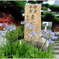 大巧寺のアガパンサスが咲き始めました♪