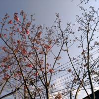 ご近所の陽光桜を見に行く