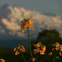 鳥海高原の菜の花