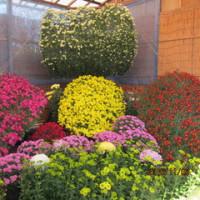 笠間の菊祭り