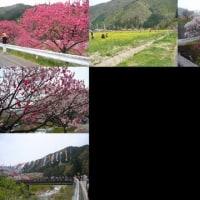 花桃を見てきました。