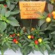 五色トウガラシ鉢の入荷