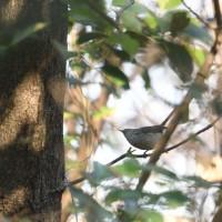 枝の隙間から、ウグイスが見えた。