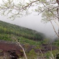 富士山5合目の自然:カラマツの緑が綺麗になりました。