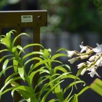■垣根に咲くデンドロビュウム