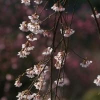 身延山久遠寺の枝垂れ桜に魅せられて Ⅱ