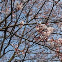湯の町暮らしに 石手川ひょうたん桜の開花を愛でながら歩く