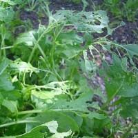 小松菜・水菜の防虫考