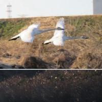 コハクチョウ(小白鳥)