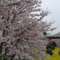 今日の冷雨で桜も終りか