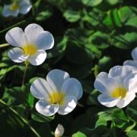 白いオキザリスが綺麗ですね。 (Photo No.13866)