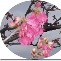 初桜 折しも今日は よき日なり
