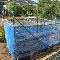 実エンドウとスナップエンドウの種蒔きとネットを張りました