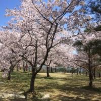 七ヶ宿町の「桜」と「水芭蕉」が見頃です!