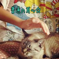 猫の耳で遊んではいけません☆