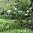 新宿御苑のサルスベリ