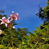 ササユリの花