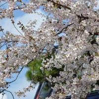 今年も桜が咲いたよ
