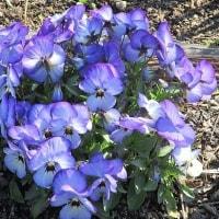 私の趣味は花の写真を撮り、皆様へお送りすること