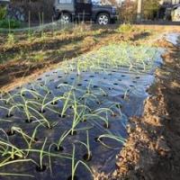 収穫と植え付け
