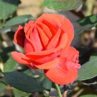 秋の薔薇(神代植物公園2016/10月)