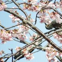 大寒桜にヒヨドリ
