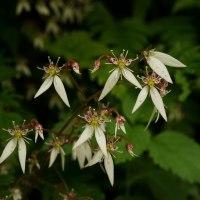 ユキノシタ 二種 葉色・花色