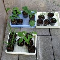 干しシイタケやら野菜の定植