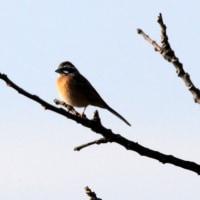 2/19探鳥記録写真(響灘ビオトープの小鳥たち:オオジュリン、チュウヒ他)
