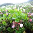 【大雪山国立公園・旭岳情報】花の季節