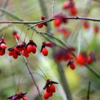 コマユミの紅葉
