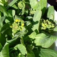 春を食べるー白菜の菜の花丼