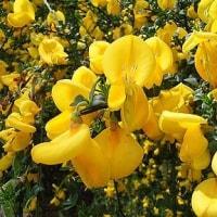 季節の花「金雀枝 (えにしだ)」