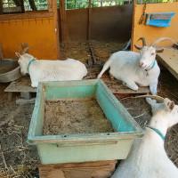 大川のヤギ達。ニンニクの収穫作業。資源を残せば人が残る。