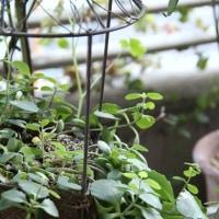 フーガちゃんとミセバヤのお花
